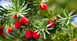 La taxine reste actif même après séchage, cuisson ou conservation de la plante. Les aiguilles ont la teneur en taxine la plus élevée.