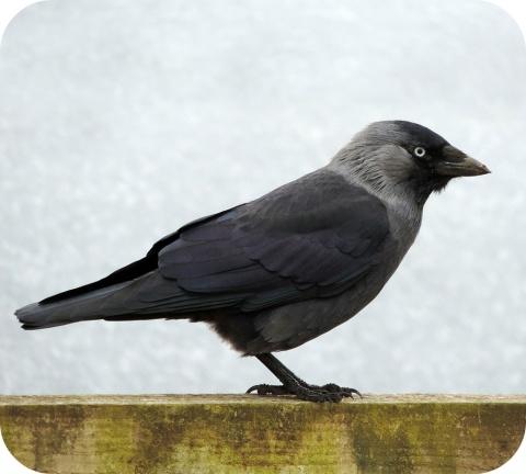 Septembre et octobre sont les meilleurs mois pour s'attaquer au problème des nids de choucas dans les cheminées.