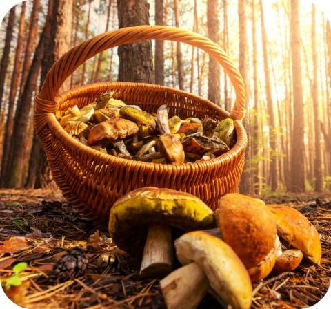 Chaque année, le Centre Antipoisons reçoit environ 400 appels impliquant des champignons.