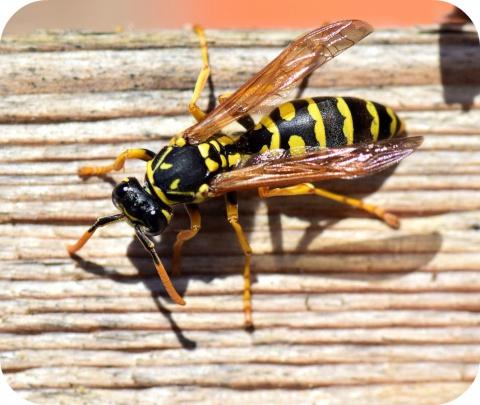Les piqûres de guêpe ou d'abeille peuvent provoquer trois types de réaction.