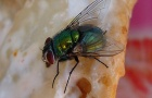Nos espèces indigènes de mouches, de fourmis et de moustiques ne sont généralement pas très nocives, mais elles sont ressenties comme assez dérangeantes.
