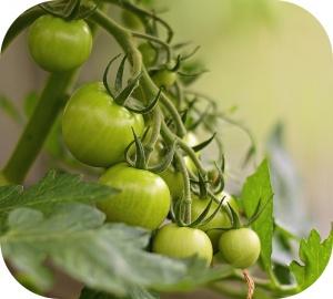 Les feuilles et les tiges du plant de tomate sont toxiques et impropres à la consommation.