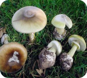 On compte plusieurs centaines d'espèces de champignons appartenant au genre Amanite.