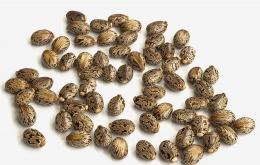 L 'huile de ricin s'obtient par pression des graines. Le résidu d'extraction (tourteau) est utilisé comme aliment pour le bétail mais contient un toxique puissant, la ricine, qui doit être inactivée par un chauffage prolongé.