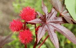 Le ricin (Ricinus communis) est une plante d'origine tropicale de la famille des Euphorbiacées.