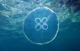 Aurelia aurita, méduse commune ou méduse lune est peu urticante.
