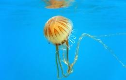 La méduse boussole ou méduse rayonnée (Chrysaora hysoscella)