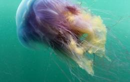 La cyanée bleue ou méduse chevelue (Cyanea lamarckii). Le contact avec les tentacules provoque une sensation de brûlure et une irritation comparables aux piqûres d'orties.  [Photo © Dan Bolt - http://www.underwaterpics.co.uk/]