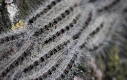 Les chenilles processionnaires vivent en groupe et font leur nids sur les troncs ou les branches les plus épaisses des chênes. Elles se déplacent en longues files vers leur nourriture, les feuilles de chêne, et sont capables de dévorer un arbre entier.