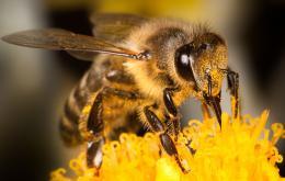 L'abeille (Apis), possède un dard barbelé relié aux muscles de l'abdomen. L'abeille ne pique que si elle est dérangée dans son travail. Cet insecte travailleur ne pique qu'une seule fois car une partie de son abdomen est arrachée avec le dard, entraînant la mort de l'abeille.