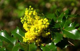 Mahonia à feuilles de houx (Mahonia aquifolium).
