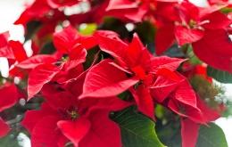 Euphorbia pulcherrima - Étoile de Noël