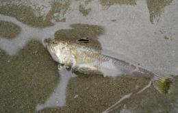La petite vive vit sur les fonds sablonneux le long de nos côtes.