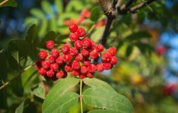 Les fruits contiennent du sorbitol et d'autres sucres, de la vitamine C et de l'acide parasorbique.