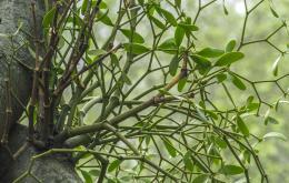 La toxicité du gui dépend fortement de l'arbre-hôte.
