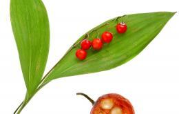 Après la floraison, la plante porte de petites baies d'abord vertes, puis orange rouge.