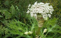 Poussant jusqu'à une hauteur de trois mètres et ayant des ombelles d'un diamètre atteignant un demi-mètre, la berce du Caucase constitue une apparition beaucoup plus imposante que la berce commune (Heracleum sphondylium), indigène et largement répandue.
