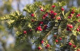 La taxine reste active même après séchage, cuisson ou conservation de la plante.