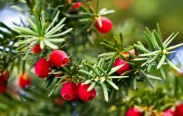 Toutes les parties de la plante sont très toxiques, sauf la chair rouge des arilles.