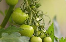 La tomatine est présente dans tout le plant de tomate, mais elle disparaît du fruit après maturation.