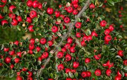 Les petites feuilles sont de couleur vert foncé brillante et prennent en automne et au début de l'hiver une couleur rouge écarlate.