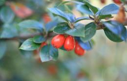 Les petits fruits ronds sont orange rouge et contiennent 2 à 4 pépins.
