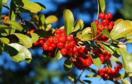 Les fruits ronds de 5 à 6 mm de diamètre restent généralement sur la plante jusqu'au plus fort de l'hiver.