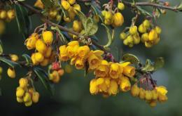 Berbéris (Berberis vulgaris).
