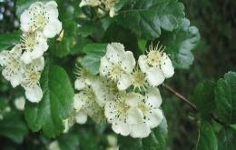 Fleurs de l'aubépine