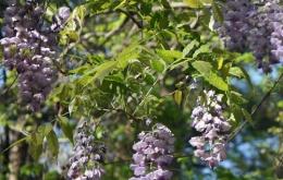 Les graines contiennent une glycoprotéine toxique, la lectine.