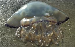 La méduse chou-fleur (Rhizostoma pulmo - syn Rhisostoma octopus) est en général considérée comme inoffensive.