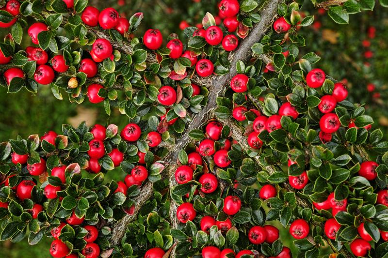 Cotoneaster Cotoneaster Horizontalis Centre Antipoisons Belge